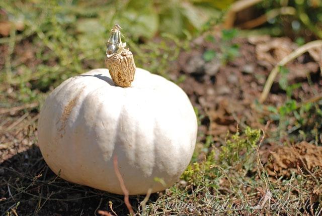 White pumpkin Riley's Farm